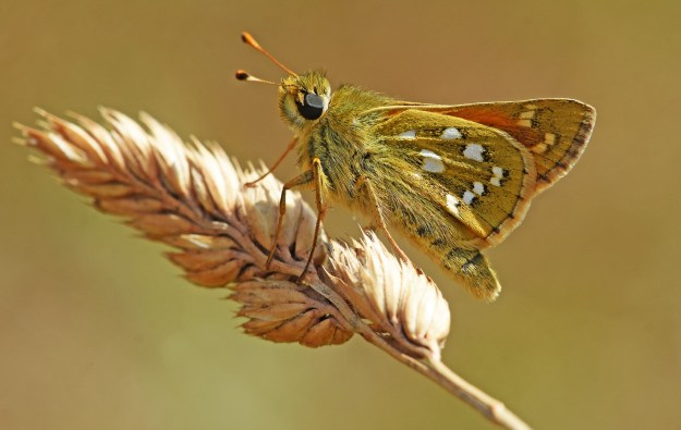 view o9f a Silver-spotted Skipper resting on a grass head showing silver spots on upper and under-wings