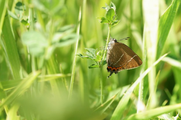 view of a White-letter Hairstreak resting on green foliage