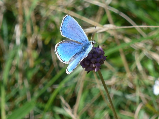 view of an Adonis Blue nectaring on a purple flower