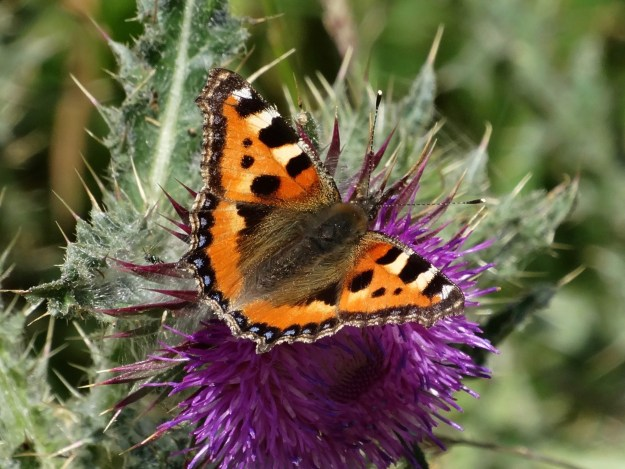 view of a Tortoiseshell nectaring on a thistle