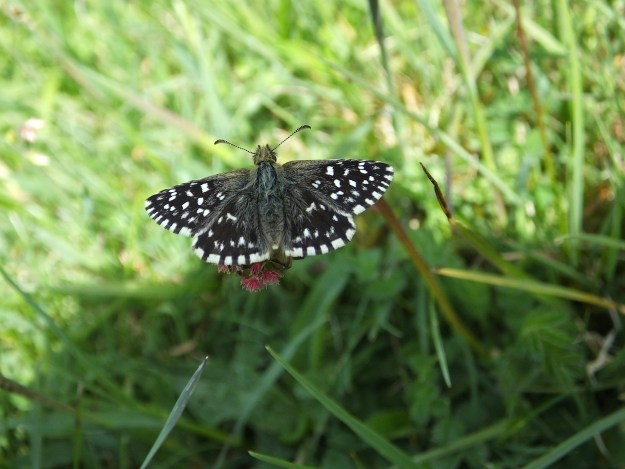 view of a Grizzled Skipper  nectaring on a small pink flower growing low in grassland, showing all it's upperwings