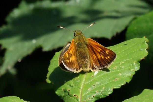 view of a Large Skipper resting om a bramble leaf