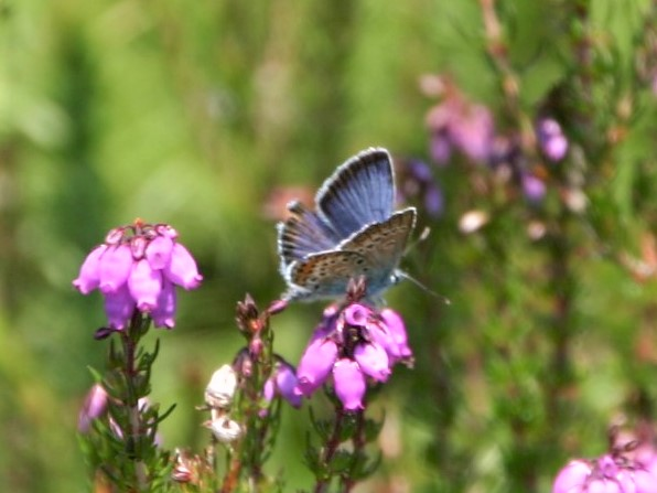 view of a Silver-studded Blue nectaring on heather with wings partially open