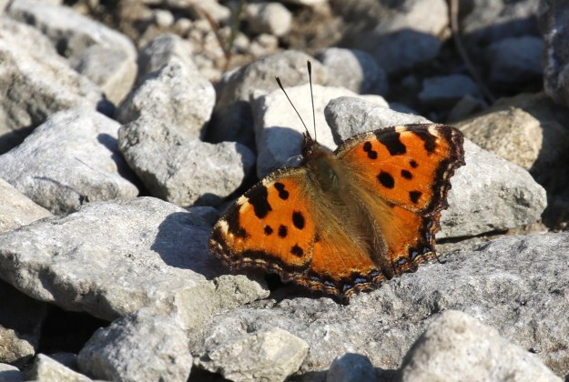 view of a Large Tortoiseshell sunning on rocks with wings wide open