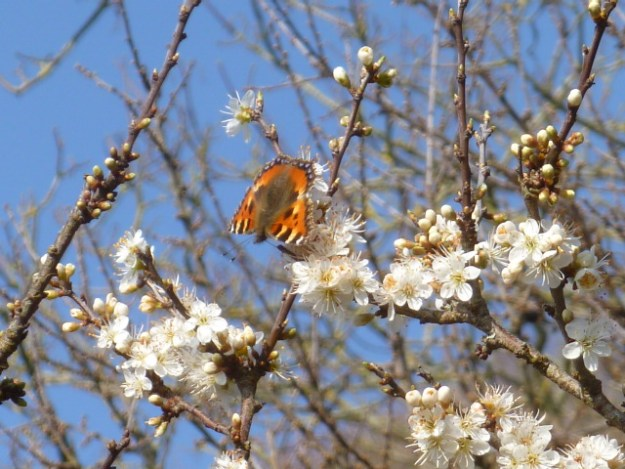 view of a Small Tortoiseshell onMay blossom