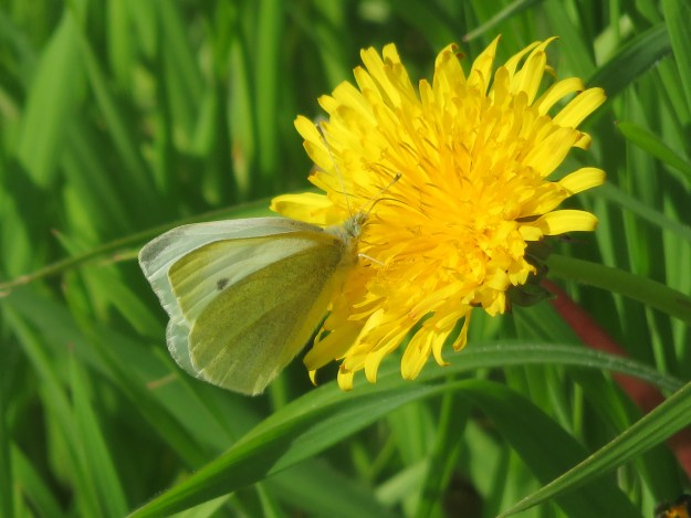 view ofa Small White nectaring on a Dandelion