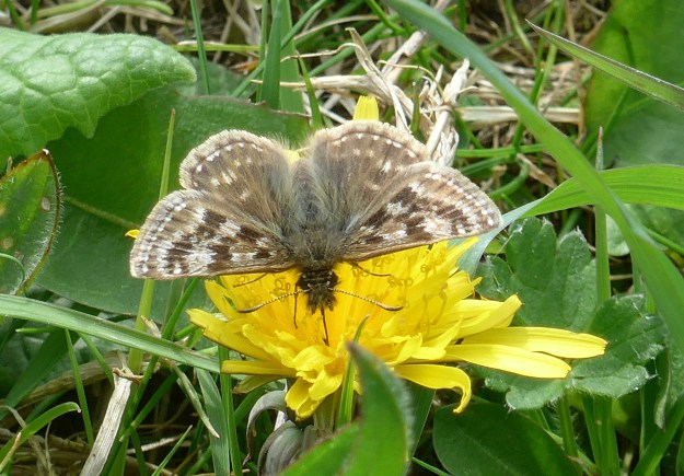 Brown butterfly with soft paler markings