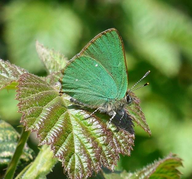 Green butterfly on a bramble leaf