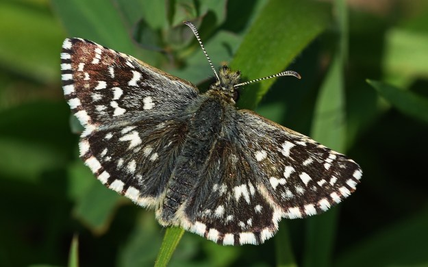 view of a Grizzled Skipper ona leaf showing full upper wing pattern