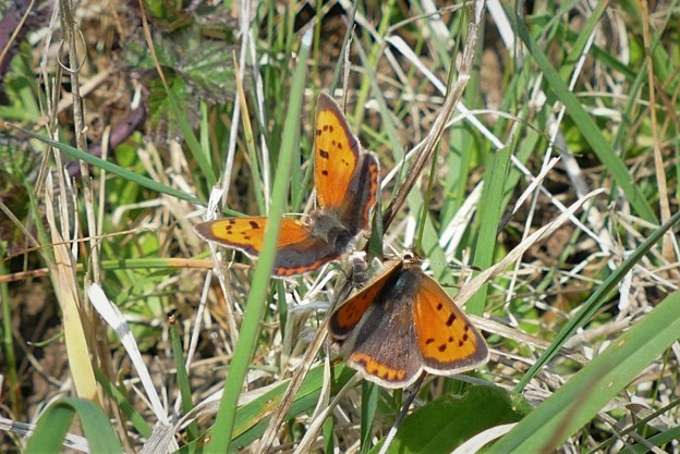 view of a pair of mating Small Coppers