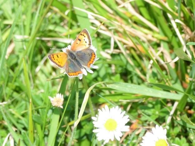 view of a Small Copper ab. nectaring on daisies