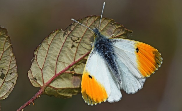 view of an Orange tip reasting on a leaf showing upper wings