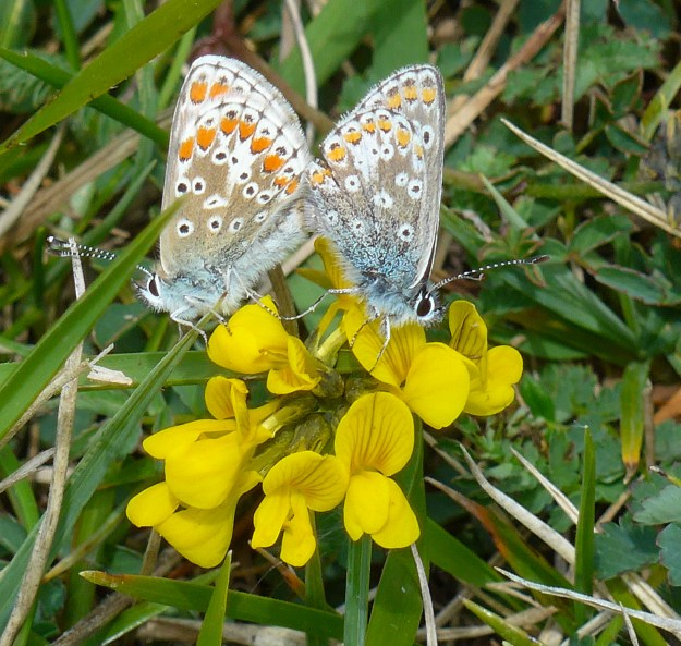 Two butterflies mating on a yellow flower
