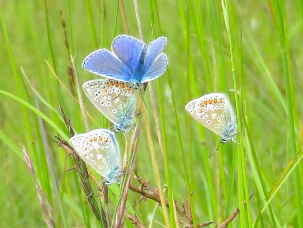 Four butterflies clinging to upright grass stalks, one with wings open