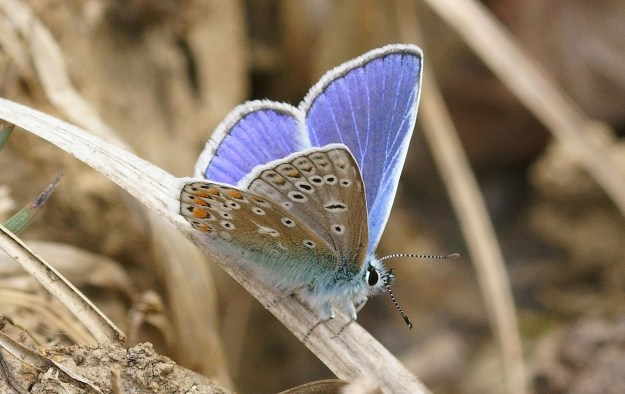 Blue butterfly with beige underwings marked with various spots