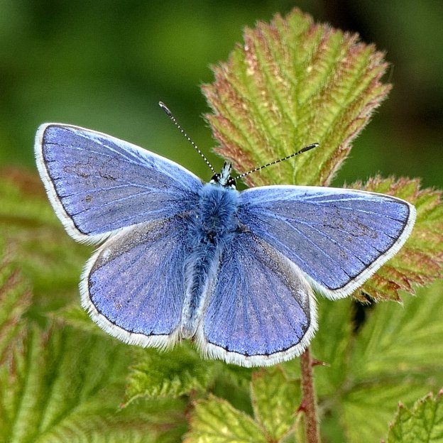 Blue butterfly with its wings open