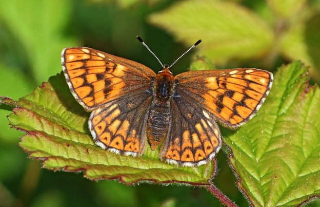 Small butterfly wiht brown markings on a mainly orange background