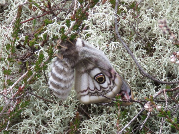 Eye-catching moth unfurling its wings for the first time