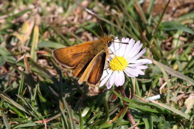 Small orange butterfly with darker brown markings, on a daisy flower