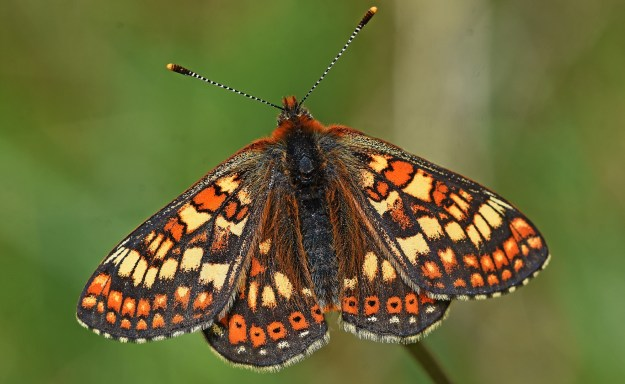 Butterfly with orange wings, patterned in a very regualr way with pale yellow and brown