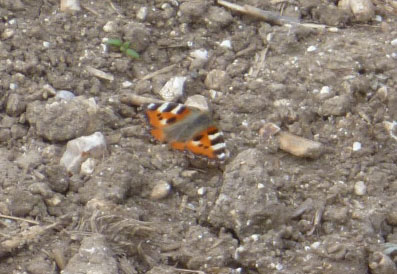 Orange butterfly with blak and pale markings on stony ground
