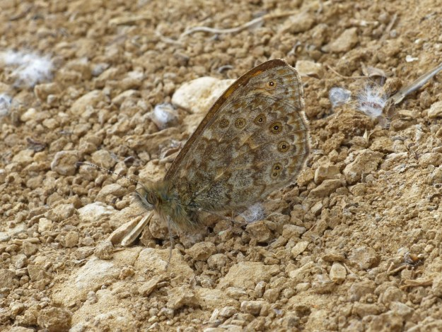 Side view of a pale brown butterfly with spotted markings agains earth and small stones of a very similar colour