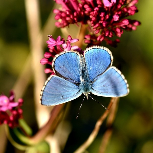 view of a bright blue butterfly with wings wide open on Red Valerian flowers