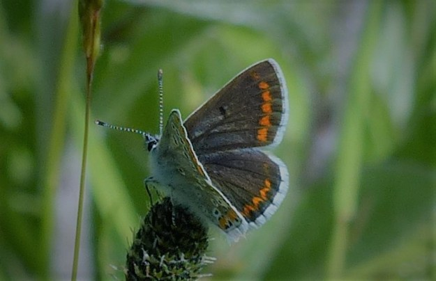 view of a Brown Argus with wings partially open