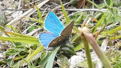 Common Blue resting with wings half open showing under and upper wings