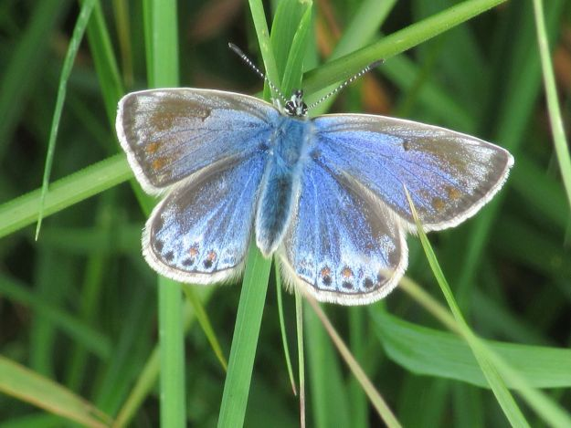 Female Common Blue on grass stems showing upper wings