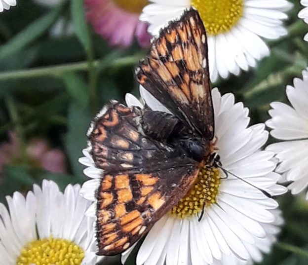 Very tatty orange and brown butterfly on a daisy-like flower