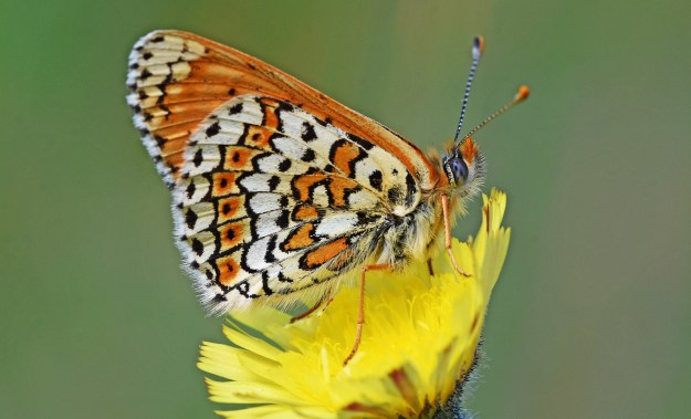 Side view of orange butterfly with white markings edged in a darker colour