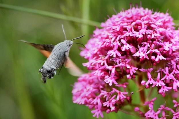 a Hummingbird  Hawkmoth hovering at red Valerian flowers