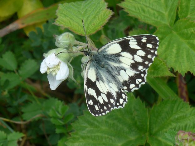 lovely black and white butterfly with open wings  nectaring on bramble flowers