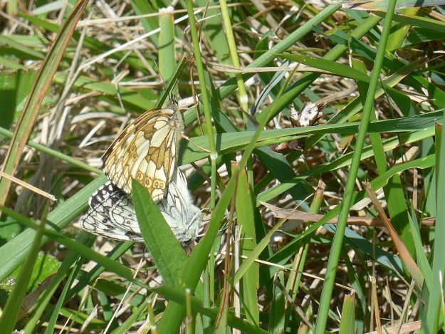 a black and white male and a cream coloured female Marbled white mating