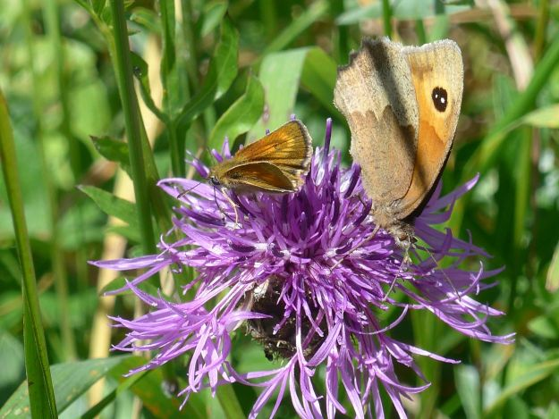 Meadow Brown and Lulworth Skipper both nectaring on a thistle