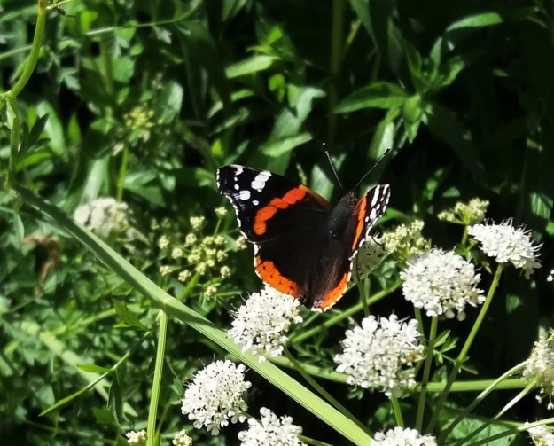 red black and white butterfly nectaring on Cow Parsleyon