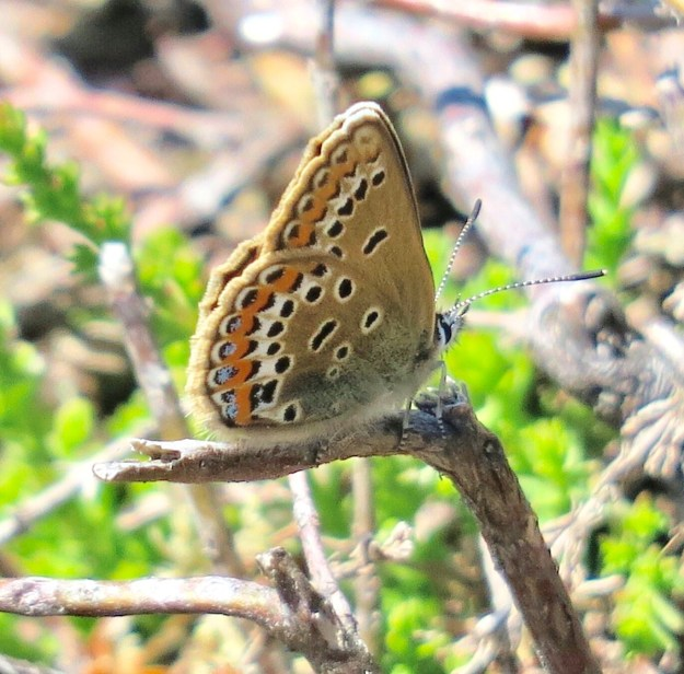 view of the underside of a female Silver studded Blue