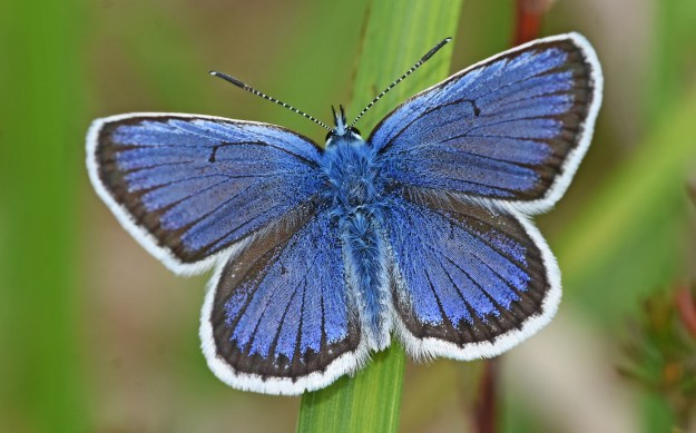 a beautiful deep blue butterfly with a white borderresting with open wingswith