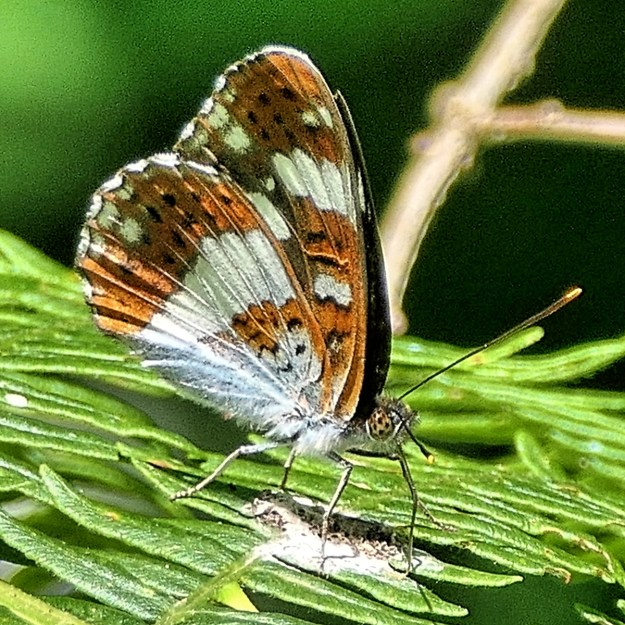 tan and White butterfly with black dots on underwings taking minerals from bird poo