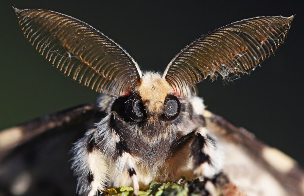 face of a Black Arches moth with feathered antennae and big black eyes