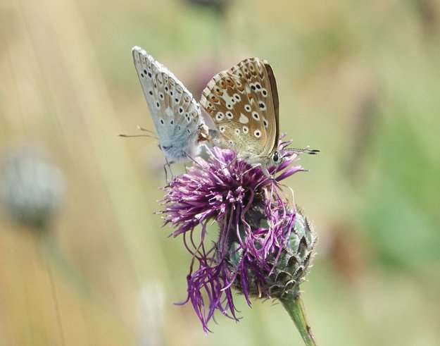 two pale blue butterflies with heavily marked underwings ,mating on knapweed