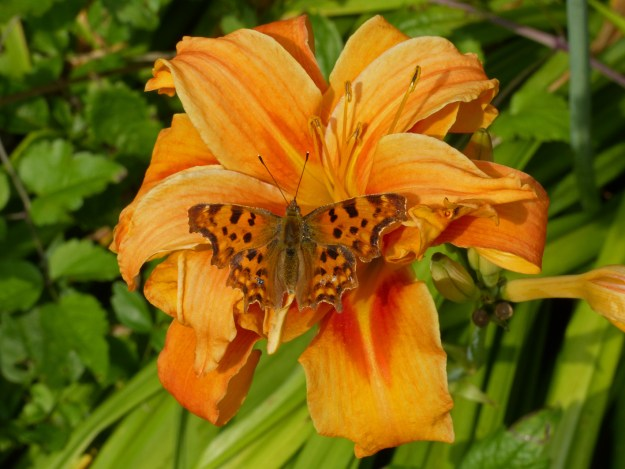 Orange and brown butterfly sunning itself on an orange daylily
