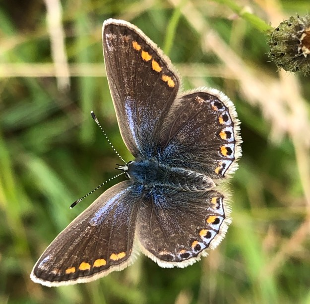 Mainly brown butterfly with some blue streaks and orange dots around the edges of its wings