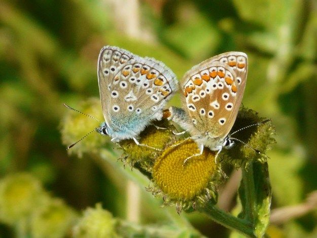 two blue butterflies showing oranges and black spots on underwings, mating