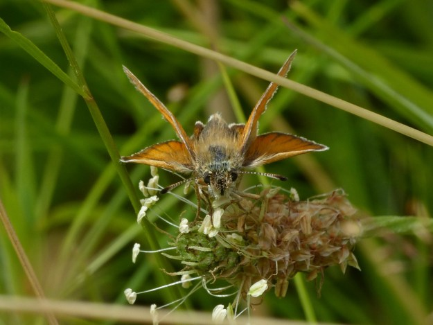 golden skipper butterfly with black tipped antennae nectaring on a seedhead