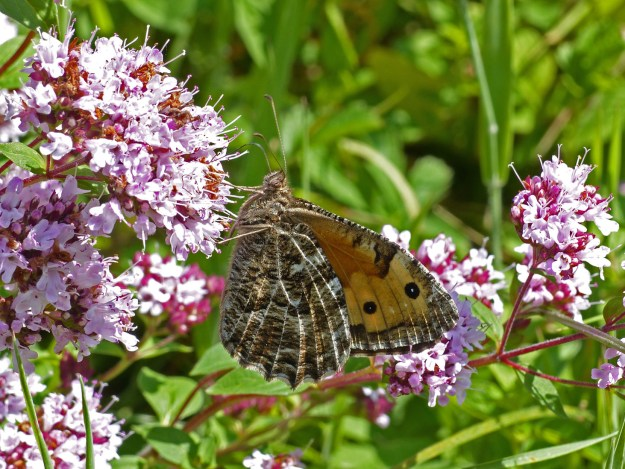 Brown and cream butterfly showing a little of the orange forewing, feeding on a pink herb