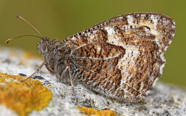 brown and cream heavily patterned butterfly resting on a stone