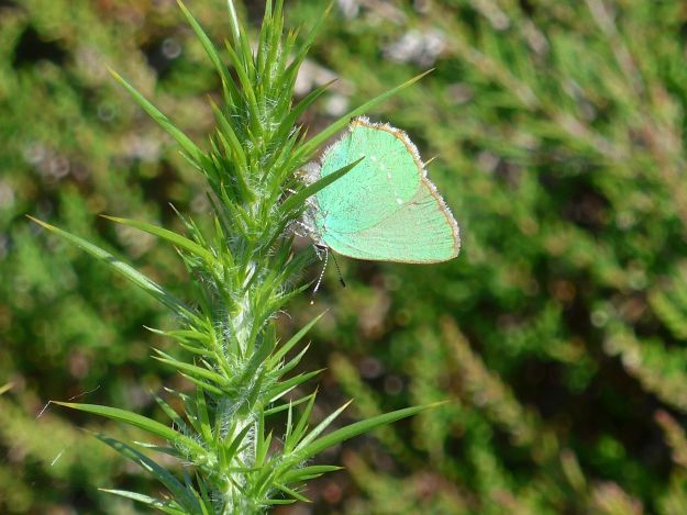 Small green butterfly ovipositing on gorse