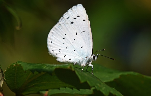pale blue butterfly with tiny black spots on both fore and hind underwings